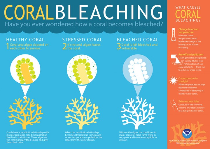 (Infographic credit: NOAA's Coral Reef Conservation Program) Although corals can recover from mild bleaching, severe or long-term bleaching can be deadly. After corals die, reefs quickly degrade and the structures corals build erode. This provides less shoreline protection from storms and fewer habitats for fish and other marine life.
