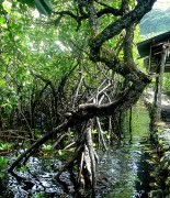Tara Sturm_Pohnpei Mangroves